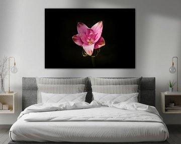 Carcuma. prachtige snijbloem ook wel Thaise tulp genoemd von Wendy Tellier - Vastenhouw