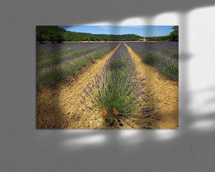 Sfeerimpressie: Verdwaalde klaproos tussen de lavendel van Jacques Jullens
