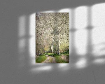 Grauwe abelen op landgoed Mattemburgh (Bergen op Zoom / Hoogerheide)