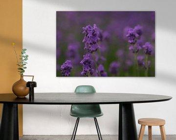 Lavendel von Alfred Meester