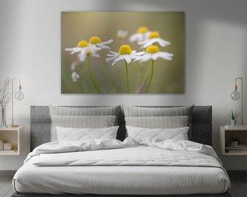 Gänseblümchen in weichem Licht von Kristof Ven