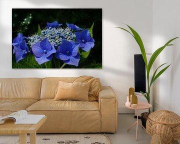 Blaue Hortensien von Bennie Eenkhoorn