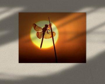 Bandheidelibel in het zonnetje