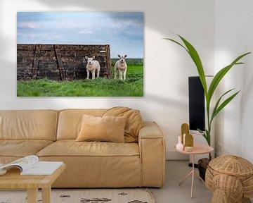 Nieuwsgierige lammetjes op Texel van Texel360Fotografie Richard Heerschap