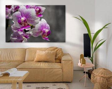 Rosa Orchidee von Stijn Cleynhens