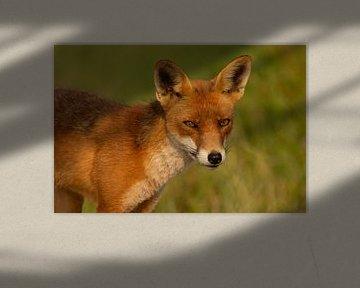 Portret van een rode vos van FatCat Photography
