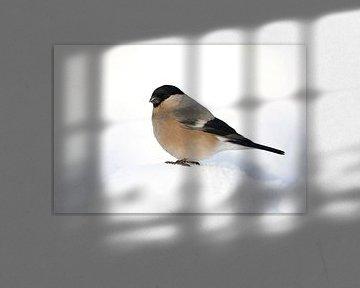 Vrouwtje Blauwe Goudvink (Pyrrhula pyrrhula cineracea) van AGAMI Photo Agency