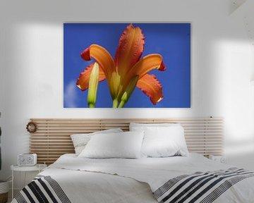 Lilie mit blauem Hintergrund von Bennie Eenkhoorn