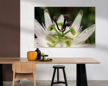 Macro van een Passiflora caerulea Passiebloem van W J Kok