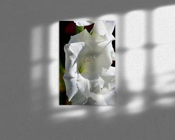 Eine weiße Blume eines Gladiolus von Gerard de Zwaan