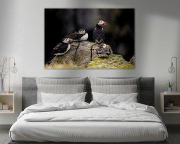 Papageientaucher, Fratercula arctica. Schottische Küste. von Gert Hilbink