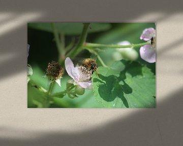 Biene auf Brombeere von Shirley Douwstra