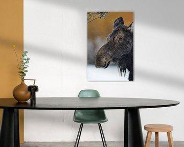 Eland ( Alces alces ), eland koe in de winter, hoofdportret, Yellowstone Area, Grand Teton, Wyoming, van wunderbare Erde