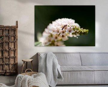 weiße Sommerblume von Tania Perneel
