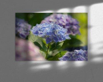 Hortensienfarben von Tania Perneel
