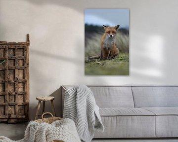 Rotfuchs ( Vulpes vulpes ) sitzt auf den Hinterpfoten, schaut kritisch neugierig in die Kamera. von wunderbare Erde