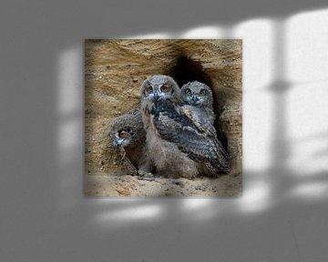Eulen, Uhu, Europäische Uhus ( Bubo bubo ), drei junge Eulen im Eingang ihrer Bruthöhle, wildlife, E von wunderbare Erde