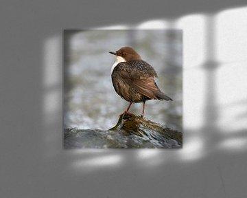 Wasseramsel ( Cinclus cinclus ) sitzt auf einem Stein, umgeben von tosendem Wasser, wildlife, Europa von wunderbare Erde