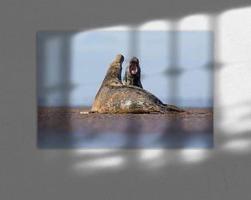 Grey Seals kämpfen am Strand. von Jeroen Stel