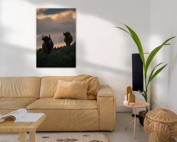 Bison (bison d'Europe) dans le Kraansvlak dans le parc national du Sud-Kennemerland sur Jeroen Stel