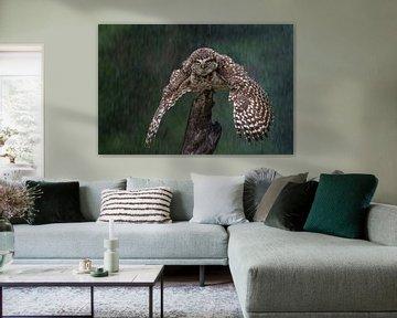 Höhlenk Eule von Freddy Van den Buijs