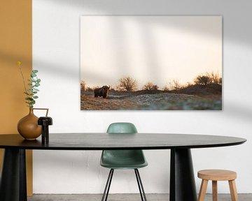 Wisenten in duinen op het Kraansvlak van Zuid Kennemerland van Jeroen Stel