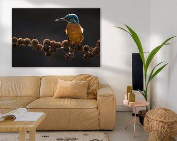 Eisvogel auf Fichtenzweig im Wurf von Jeroen Stel