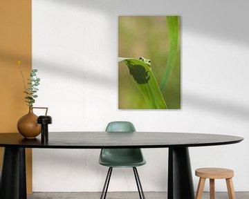 Baumfrosch am Blatt eines Schilfrohrstiels in Grün von Jeroen Stel