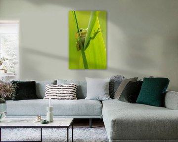 Baumfrosch schaut um die Ecke von hinten Schilfblatt von Jeroen Stel