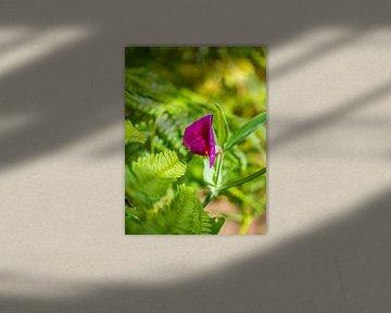 Wilde Erbsenblüten von Stijn Cleynhens