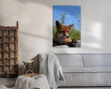 Junger Fuchs von Justin Hartsink