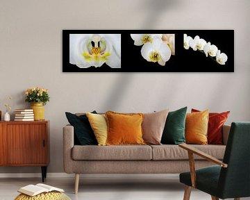 Collage der Orchidee (Orchidaceae) von Dennis Carette