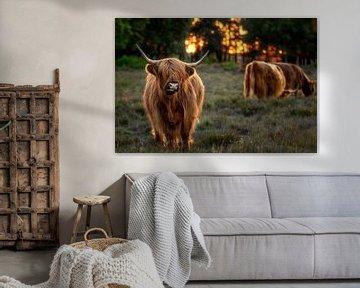 Zonsndergang met Schotse Hooglanders uit het Gooi van Dennisart Fotografie