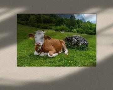 Alpen cows at Königssee in Berchtesgadener Land sur Maurice Meerten