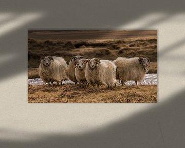 Schafe von Marije Zuidweg