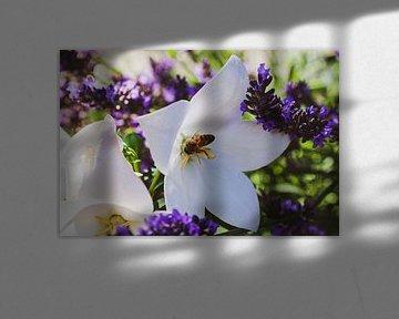 Bestäubung der Blume zwischen dem Lavendel von Scarlett van Kakerken