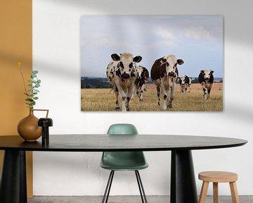 Typisch nederlandse koeien kijken nieuwsgierig in de camera in een droog weiland. van Robin Verhoef