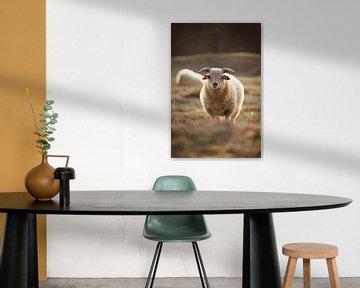 Katarakt-Match mit einem Schaf während der Sündhaftigkeit von Steven Marinus