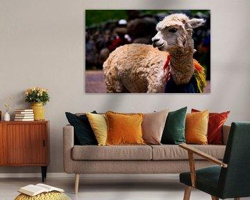 Freundlich dekoriertes Lama in Cuzco, Peru von John Ozguc