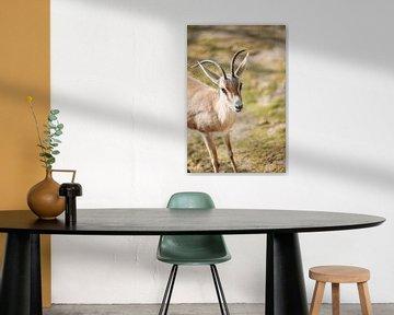 Baby Antilope van Leen Van de Sande