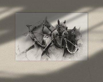 Driespan Trekpaarden portret in sepia van Bram van Broekhoven