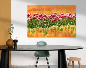 een rij Rode tulpen in een oranje tulpenveld van eric van der eijk