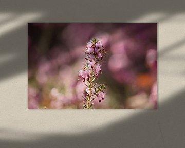 Rosa blühende Heide - 2 von Steven Marinus