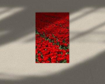 Veld met rode Tulpen von Menno Schaefer
