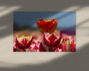 Gekleurde Tulpen von Menno Schaefer