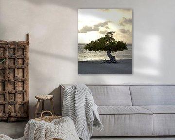 Divi Divi Baum, Adlerstrand Aruba von Talitha Blok