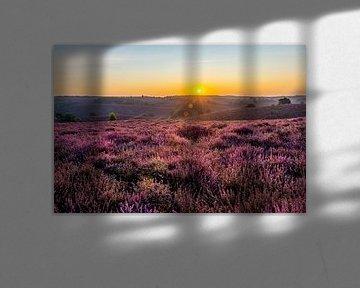 Zonsopgang bloeiende paarse heide op de Posbank