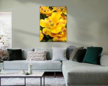 Show Tulip Yellow Brown von David Hanlon