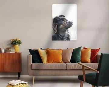 Langhaariger Chihuahua von Clicksby JB