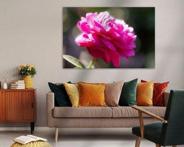fuchsia rose von Tania Perneel